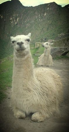 Llamas who have figured out the art of being chill.
