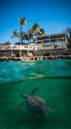 That turtle is always around Firefly Sunset Resort. #Bahamas