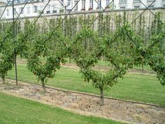From the Potager du Roi comes photos of beautifully espaliered fruit trees, these are pear trees.