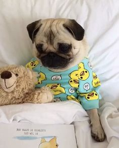 """Does your pug have a book to read? #gotmypugbook - Get your pug book by searching for """"The Pug Who Ate The World"""" on Amazon.com - follow @pugloulou ❤️❤️❤️"""
