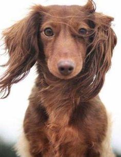 Dachshund – Friendly and Curious Dachshund Funny, Dachshund Puppies, Dachshund Love, Cute Puppies, Cute Dogs, Dogs And Puppies, Dotson Puppies, Animals Beautiful, Cute Animals