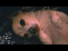 Captured moment of Butterz (pomchi) with his tongue out while in mid sleep Kind Reminder, Minka, Stick It Out, Sleep, In This Moment, Dogs, Pet Dogs, Doggies