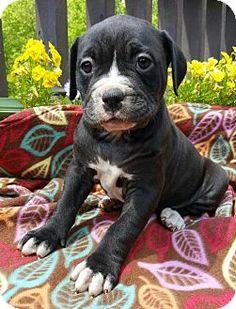 Champaign, IL - English Bulldog/Husky Mix. Meet Paisley, a puppy for adoption. http://www.adoptapet.com/pet/15493742-champaign-illinois-english-bulldog-mix
