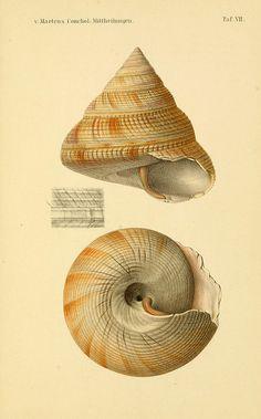 dendroica: n254_w1150 by BioDivLibrary on Flickr. Via Flickr: Conchologische Mittheilungen als Fortsetzung der Novitates conchologicae. bd 1 - 3. Cassell :T. Fischer,1880- .biodiversitylibrary.org/item/53879