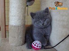 British Shorthair Kittens | London, North London | Pets4Homes