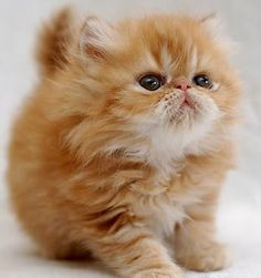 The latest cat pictures, cat rescues, cat breeds, cat news, cute kittens and kitty cats. Pretty Cats, Beautiful Cats, Animals Beautiful, Baby Animals, Funny Animals, Cute Animals, Funny Cats, Cute Cats And Kittens, Kittens Cutest