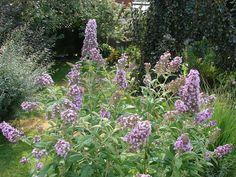 New Utah Gardener: Buddleia - Butterfly Bush - Waterwise Shrub For Xe...