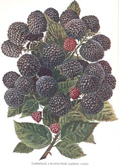'Cumberland' Black Raspberry - Rubus occidentalis - Heirloom variety Introduced in 1890 - Superb wild berry flavor - Especially vigorous and disease resistant plants - Will produce in warmer climates than other Black Raspberry varieties