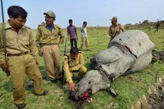 Un Mundo en Paz: Rinocerontes: Caza ilegal