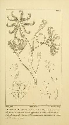 Manuel d'actinologie ou de zoophytologie /. Paris ;F.G. Levrault,1834-[1836]
