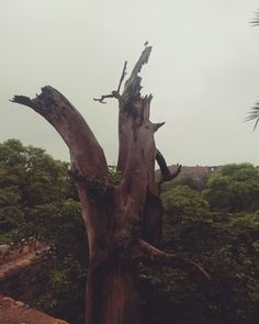 It was once her #Treehouse.    #SniperInQuest #IdleThoughts #Birdy #DeadTree