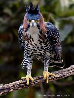 The Ornate Hawk-Eagle (Spizaetus ornatus) is a bird of prey from the tropical Americas. Like all eagles, it is in the family Accipitridae. This species is notable for its vivid colors, which differ markedly between adult and immature birds. Pretty Birds, Beautiful Birds, Animals Beautiful, Rare Birds, Exotic Birds, Colorful Birds, Exotic Pets, Animals And Pets, Cute Animals