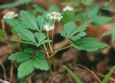 Ginseng Panax Spp.      berries are edible.     root is edible raw.