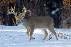 Kill a Late-Season Stud in 5 Days Deer Hunting Season, Deer Hunting Tips, Trophy Hunting, Bow Hunting, Hunting Dogs, Hunting Stuff, Whitetail Deer Pictures, Whitetail Deer Hunting, Deer Photos