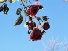 we love roses