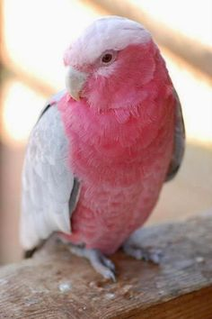 Rose-breasted Cockatoo, I know this as a Galah, I had one as a pet...his name was Tom...