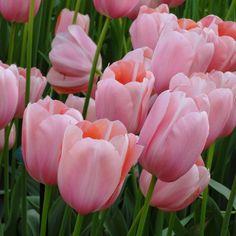 Tulip Menton AGM