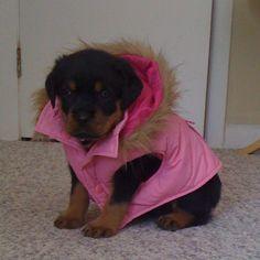 awwwww, a puppy Rottweiler in a pink jacket.