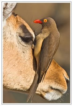 Africa |  Red Billed Oxpecker on Impala.  Kruger National Park, South Africa |  © Hendri Venter