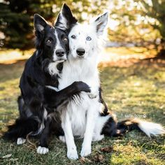 Astounding Border Collie Dog Tips Ideas Black And White Dog, White Dogs, Beautiful Dogs, Animals Beautiful, Cute Puppies, Dogs And Puppies, Puppies Tips, Animals And Pets, Cute Animals