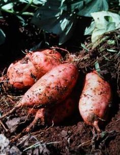 How to grow sweet potatoes, Great tips on how to start your own vines from sweet potatoes you buy at a farmers market.