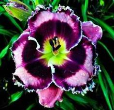 """blueberry dream"" day lily                                                                                                                                                                                 More"