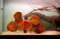 alenquer discus fish - Yahoo Image Search Results