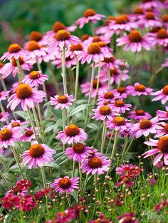 This year, we're planting purple Echinacea and a creamy white variety, too. Beautiful when planted in a large group... ~~ Houston Foodlovers Book Club
