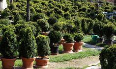 Buxus - topiary