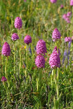 Anacamptis pyramidalis - Pyramidal Orchid, Photo taken at Enerum, Öland in southern Sweden, by ockie50, via Flickr Wild Flowers Uk, Beautiful Flowers, Orchid Flowers, Ways To Show Love, What A Beautiful World, Orchidaceae, Wild Orchid, All Plants, Dream Garden