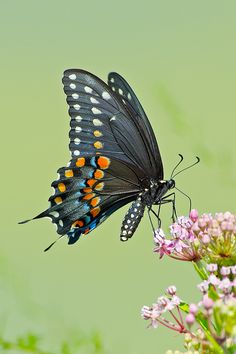 swallowtail butterfly | Black Swallowtail Butterfly | Flickr - Photo Sharing!