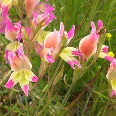 gladiolus venustus - Google'da Ara