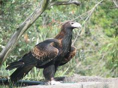Wedge Tailed Eagle Australia
