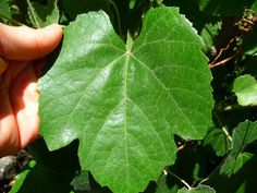 Harvest your own grape leaves to make dolmas, its easy to cure them in a brine solution.