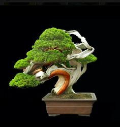 . #Bonsai #BonsaiTree