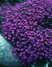 1000 images about rock garden on pinterest rock garden for Purple flower ground cover perennial