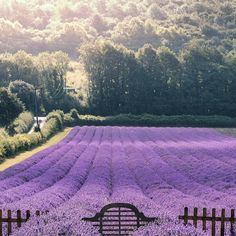 Lavender Fields, Lavender Flowers, Purple Flowers, Evergreen Shrubs, Cold Day, Flower Arrangements, Castle, Country Roads, River