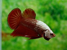 Photo by K-o-r-w-h-o-r-d (^_^) Betta Aquarium, Beta Fish, Siamese Fighting Fish, Aquarium Ideas, Halfmoon Betta, Underwater Life, Beautiful Fish, Exotic Fish, Freshwater Fish