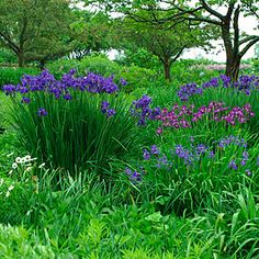 Siberian Iris - Iris sibirica (various cultivars) - -- - Learn how to create a garden with Iris blooms all season long at http://gardendesignforliving.com/?p=1150