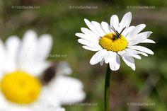 Blumen Margeriten Insekten