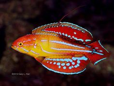 The Carpenter's Flasher Wrasse, also known as the Carpenter's Wrasse, or Redfin Flasher Wrasse, is orange with blue vertical stripes as a juvenile. As the fish matures and becomes an adult, the coloration becomes yellow with a series of broken blue horizontal stripes.