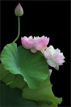 Beautiful double pink lotus.