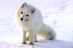 Tundra Artic Fox Sleeping Images & Pictures - Findpik