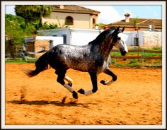 1023 | PRE for SalePRE for Sale  This Purebred Spanish Horse is a 5 year old 1,74 m stallion with a Miguel Bohorques Iron.  Direct son of qualified mere Majuela II and offspring on mothers side of qualified stallion Trianero XXIV.  Classic Dressage, High School Dressage.