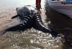 Fuku Mutation? Two-Headed Whale Washes Up On Baja, California Beach! (Disturbing Video & Images) | Environment