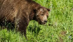 You remember Cecil the lion. But will you recall Scarface, the slain grizzly? https://www.washingtonpost.com/news/animalia/wp/2016/05/04/you-remember-cecil-the-lion-but-will-you-recall-scarface-the-slain-grizzly/?wpmm=1