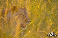 Lioness stalking in the Okavango Delta, Botswana. Okavango Delta, Wildlife Photography, Big Cats, Pet Care, Conservation, Lion, Pets, Animals, Leo