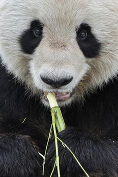 """earth-song:  """"Giant Panda Close-Up"""" by Josef Gelernter"""