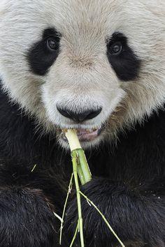 ".    ""Giant Panda Close-Up"" by Josef Gelernter"