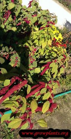Amaranthus caudatus - How to grow & care Amaranth Plant, Amaranth Flower, Green Leaves, Plant Leaves, Vegetative Reproduction, Amaranthus, Plant Information, Ornamental Plants, Plant Pictures